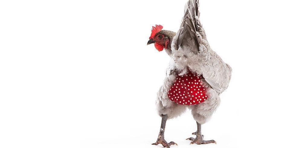criar uma galinha em casa