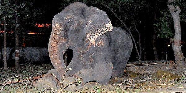 Raju, o elefante ainda está em perigo