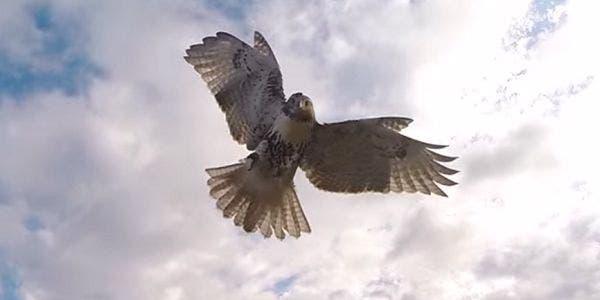 O gavião que ataca o drone