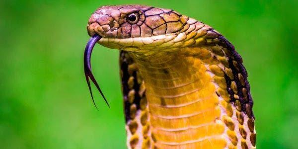 cobras mais venenosas