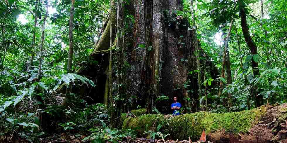 árvore mais antiga do mundo não foi cortada
