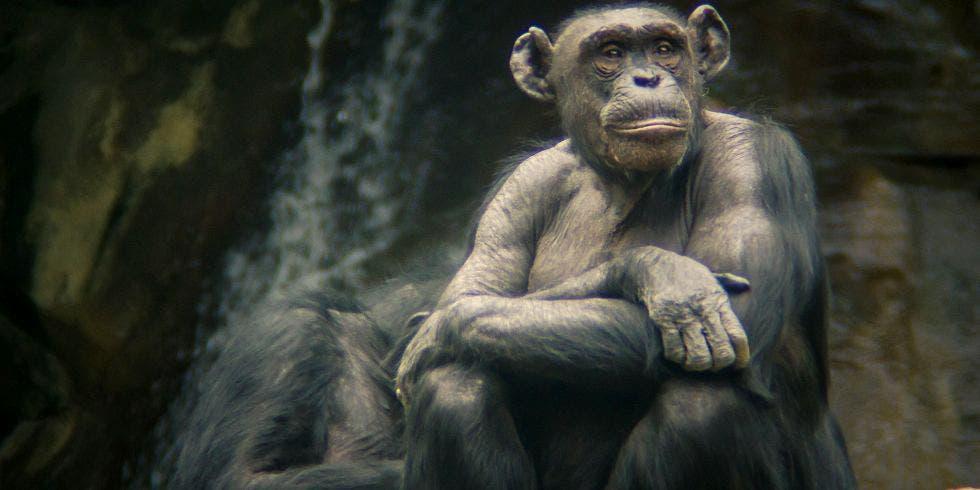 Chimpanzé não tem direitos humanos