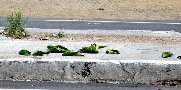 Ipaam investiga o caso dos periquitos mortos