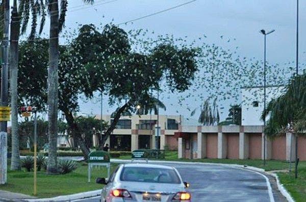 Revoada de periquitos na Avenida Ephigenio Salles, em Manaus