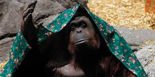 Sandra, a orangotango do jardim zoológico de Buenos Aires