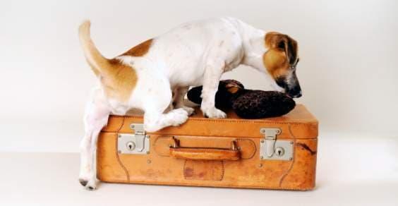 coisas para saber antes de viajar com animais domésticos