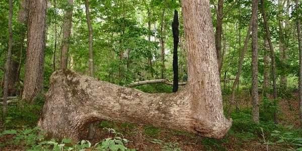 Árvores modeladas por nativos norte-americanos