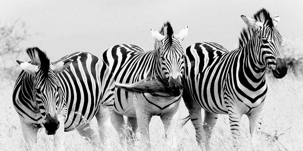Por que as zebras têm listras