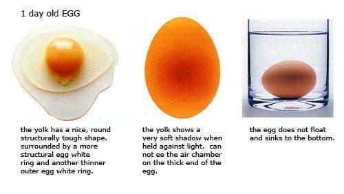 Reconhecer ovo fresquíssimo