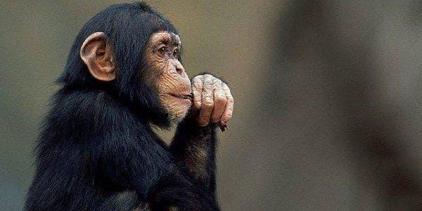 chimpanze direitos humanos