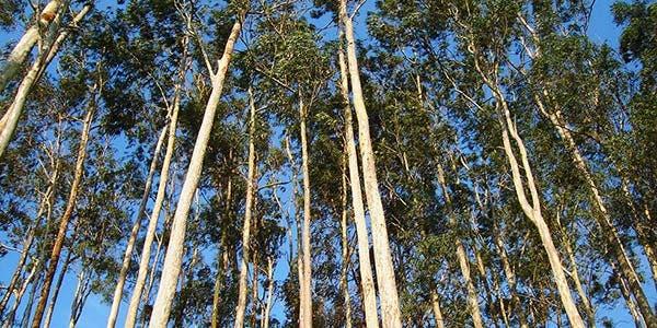 Plantio de eucaliptos