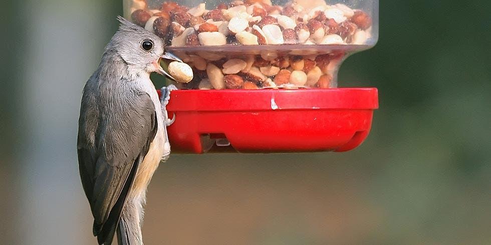 alimentar aves silvestres