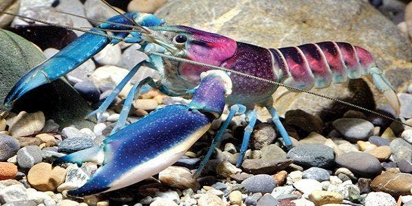 camarão mais lindo do mundo