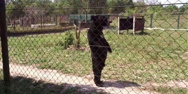 urso em pe