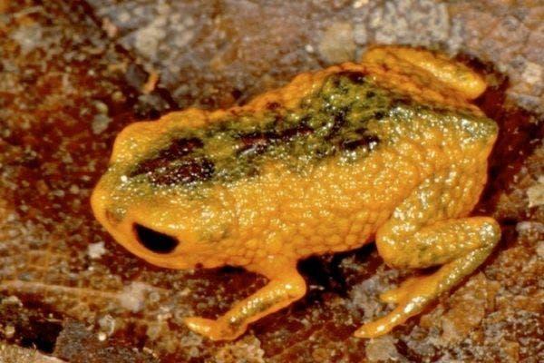 Brachycephalus fuscolineatus