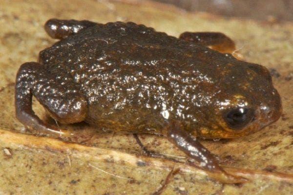 Brachycephalus olivaceus