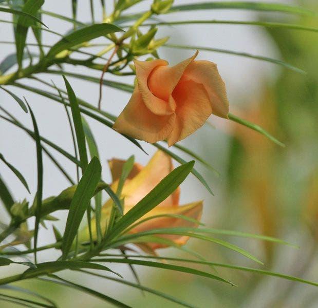 Thevertia peruviana