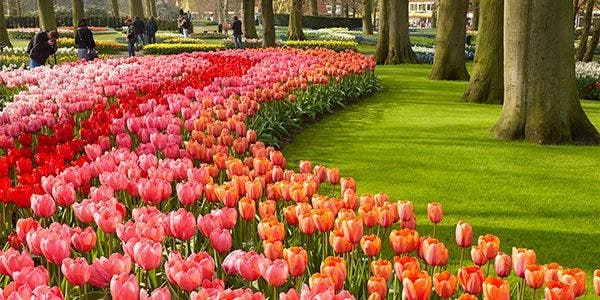 tulipas da Holanda