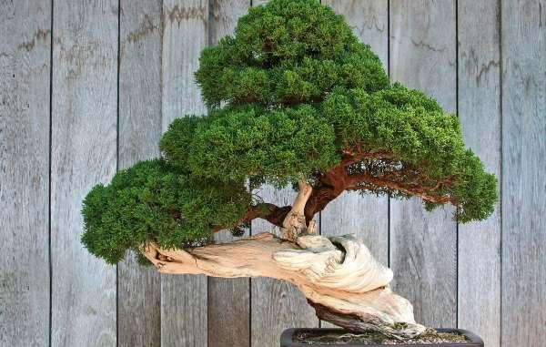 cultivo-bonsai-dicas