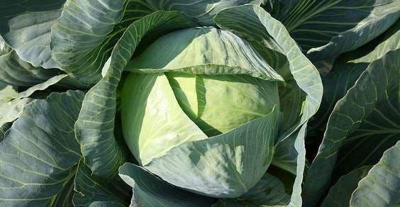 couve-vegetal-mais nutritivos