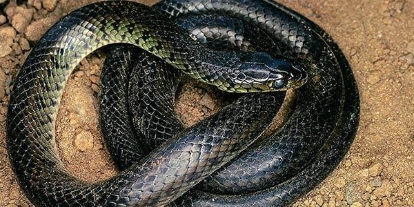 serpentes-do-cerrado