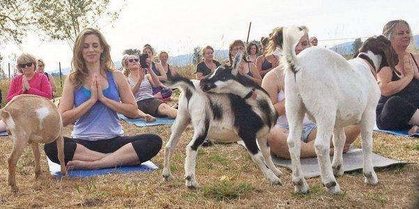 yoga-cabras