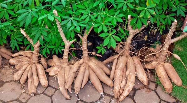 como-plantar-mandioca