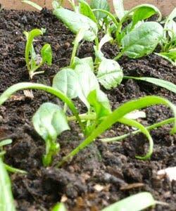 cultivo espinafre