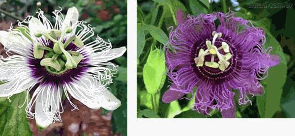 flores maracuja