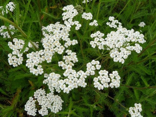 achillea millefolium white beauty