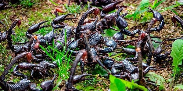 muito escorpião