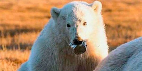 urso polar com lata na boca