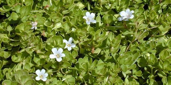 Bacopa monnieri ou Brahmi benefícios, para que serve, como usar