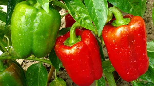 como plantar pimentao