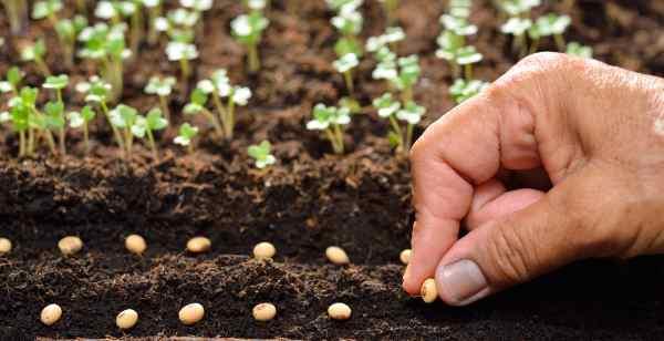 Cultivar sem irrigar