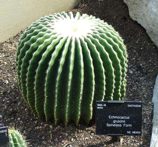 echinocactus grusonii sem espinhos