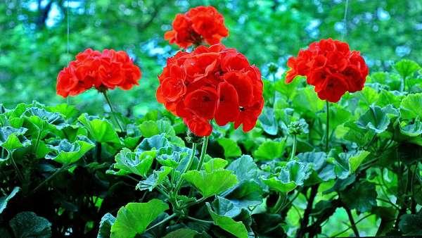 geranios vermelhos