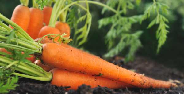 plantar cenoura