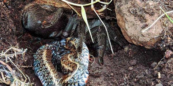 Aranha comendo cobra