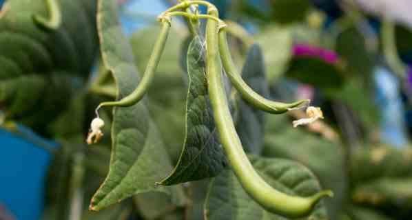 plantar feijão