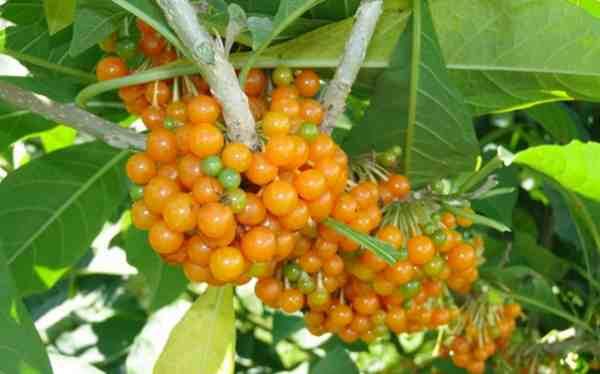 fruta de sabia
