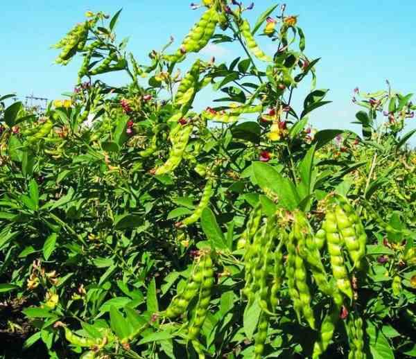 plantar feijao 3