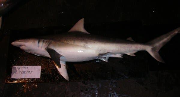 tubarão dente de agulha