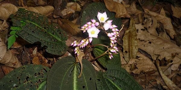 bertolonia duasbocaensis