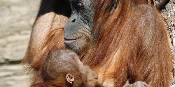 orangotangos amamentam