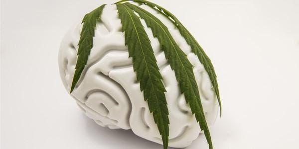 cannabis cérebro