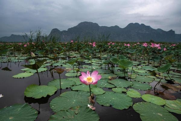flor lotus thai 1