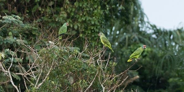 Cara-roxa-papagaio
