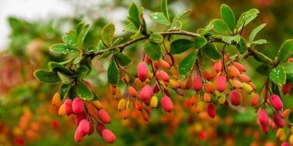berberina berberis vulgaris