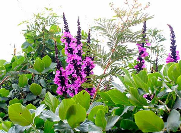 coronha flor
